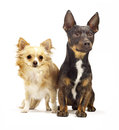 Two dogs sitting by each other looking cute in to the camera on a white background with a soft shadow Royalty Free Stock Photo