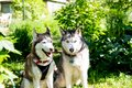 Two dogs sitting near house waiting for his master. Siberian husky on a background of the countryside.Couple of Siberian Royalty Free Stock Photo