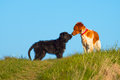 Two dogs sniffing Royalty Free Stock Photo