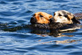 Two dogs swimming in lake Royalty Free Stock Photo