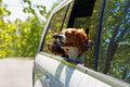 Two dogs traveling in car Royalty Free Stock Photo