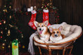 Two dogs welsh corgi pembroke in a chair. Happy holiday New Year and Christmas Royalty Free Stock Photo