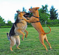 Two dogs wrestling Royalty Free Stock Photography