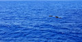 Two dolphin in mediterranean sea. Royalty Free Stock Photo