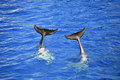 Two dolphin tails Royalty Free Stock Photo