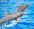 Two dolphins jumping. Royalty Free Stock Photo