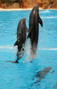 Two dolphins jumping out of water during show in loro parque in tenerife spain Royalty Free Stock Photos