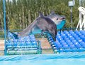 Two dolphins jumping in the pool Royalty Free Stock Photo
