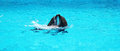 Two dolphins playing together in a clear azure pool water Royalty Free Stock Photo