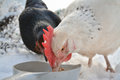 Two domestic chickens eating grain in the snow - close up Royalty Free Stock Photo