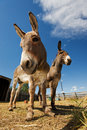 Two donkeys Stock Images