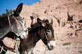 Two donkeys in jordan petra gray and brown a backdrop of mountains Stock Photos