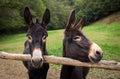 Two Donkeys Royalty Free Stock Photo
