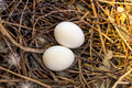 Two dove eggs Royalty Free Stock Photo