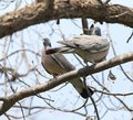 Two doves in love on the tree in nature