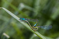 Two Dragonfly sex Royalty Free Stock Photo
