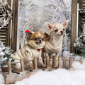 Two dressed-up Chihuahuas on a bridge Royalty Free Stock Images