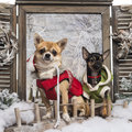 Two dressed-up Chihuahuas on a bridge Stock Photos