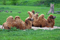 Two  Dromedaries or Camels Stock Photo