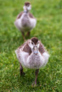 Two ducklings duckling on a green lawn sot with selective focus Stock Photography