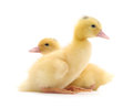 Two ducklings yellow on a white background Stock Photo