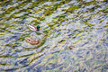 Two ducks on the crystal clear lake wild with abundant aquatic plants Royalty Free Stock Photo