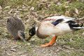 Two ducks feeding Royalty Free Stock Photo