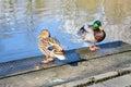 Two ducks on the lake beautiful Royalty Free Stock Photo