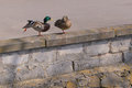 Two ducks. Male and female. Royalty Free Stock Photo