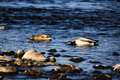 Two Ducks Swimming In River With Heads Submersed Royalty Free Stock Photo