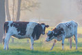 Two Dutch milk cows on a foggy afternoon Stock Images