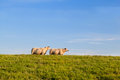 Two dutch sheep green pasture over blue sky Royalty Free Stock Images