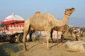 Two eating dromedaries and colourful carriage nomadic camp india in at pushkar ethnic fair rajasthan Stock Photo