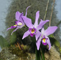 Two-edged Laelia Orchid Royalty Free Stock Photo