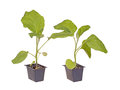 Two eggplant seedlings ready for transplanting Stock Image
