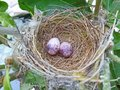Two eggs of bulbul bird in the nest Royalty Free Stock Photo