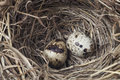 Two eggs in a nest on white background Royalty Free Stock Images