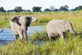 Two elephants comming out the water coming from refreshing themselves by drinking and playing in in okavango delta in botswana Royalty Free Stock Photos