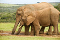 Two elephants drinking large standing and at a waterhole Stock Images