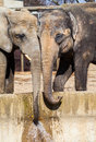 Two elephants drinks water Royalty Free Stock Photo