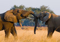 Two elephants playing with each other. Zambia. Lower Zambezi National Park. Royalty Free Stock Photo