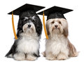 Two eminent graduation havanese dogs wit cap a pair of proud with isolated on white background Royalty Free Stock Photo