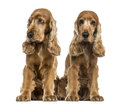 Two english cocker spaniels sitting Stock Images