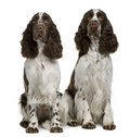 Two English Springer spaniels, sitting Stock Photo