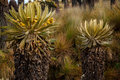 Two Espeletia Plants Royalty Free Stock Photography
