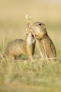 Two european ground squirrel with ear of avena in the grass Royalty Free Stock Photography