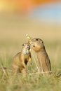 Two european ground squirrel with ear of avena in the grass Royalty Free Stock Photo