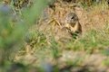 Two european ground squirrel in grass green and yellow Royalty Free Stock Images