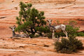 Two Ewes Big Horn Sheep On Red Rocks Stock Image