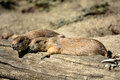 Two Exhausted Prairie Dogs Taking a Rest Royalty Free Stock Photo